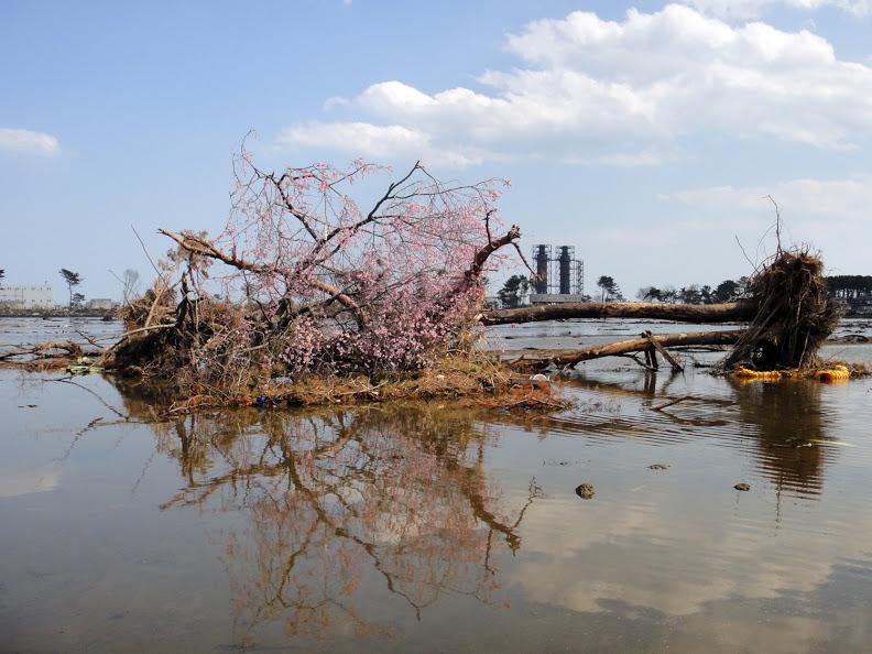 津波で倒れた木と桜花