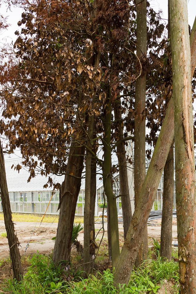 葉が茶色になった松