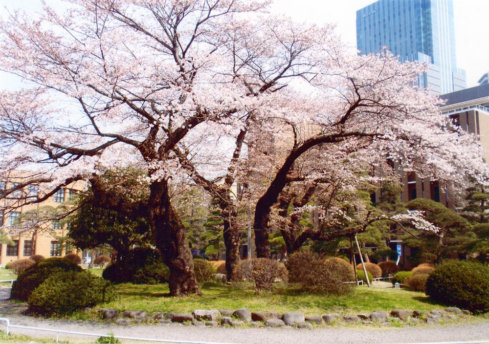 2011年4月15日 東北大学片平キャンパスの桜